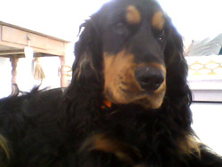 Haribo, chien Cocker anglais