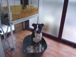 Haribo, chien American Staffordshire Terrier