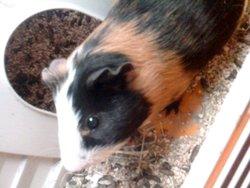 Haribo, rongeur Cochon d'Inde