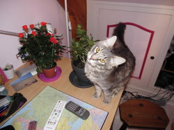 Haribo, chat Norvégien