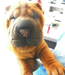 Haribo, chien Shar Pei