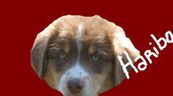 Haribo, chien Berger australien