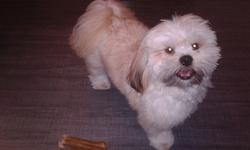 Haribo, chien Lhassa Apso