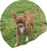 Haribo Choco, chien Chihuahua