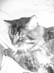 Haristide, chat Angora turc