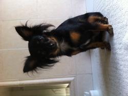 Hariti, chien Chihuahua