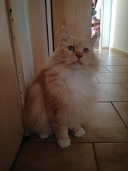 Harkan, chat Maine Coon
