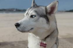 Harkanne, chien Husky sibérien