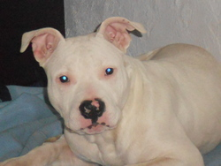 Harko, chien American Staffordshire Terrier