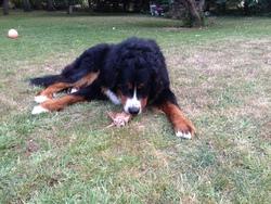 Harko, chien Bouvier bernois