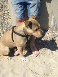 Harkos, chien American Staffordshire Terrier