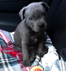 Harkos, chien Staffordshire Bull Terrier