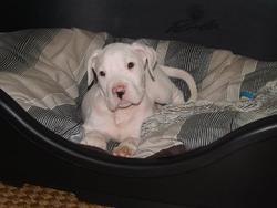 Harkos, chien Dogue argentin