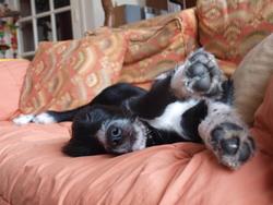 Harkos, chien Border Collie