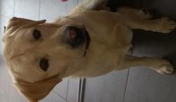 Harlem, chien Labrador Retriever