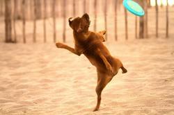 Harlem, chien Staffordshire Bull Terrier