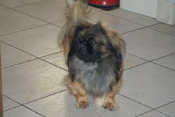 Harley, chien Pékinois
