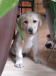Harley, chien Labrador Retriever