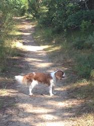 Harley, chien Cavalier King Charles Spaniel