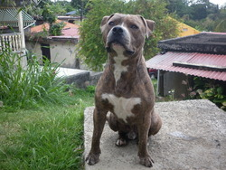 Harley, chien American Staffordshire Terrier