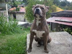 Harley, chien American Staffordshire Terrier