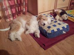 Harley, chien Terrier tibétain