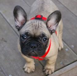 Harley, chien Bouledogue français