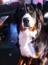 Harley, chien Bouvier bernois