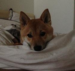Harley, chien Shiba Inu