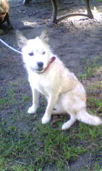 Harley, chien Husky sibérien