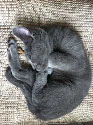 Harley, chat Chartreux