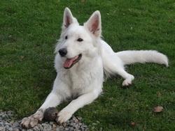 Harley, chien Berger blanc suisse