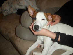 Harley, chien Jack Russell Terrier