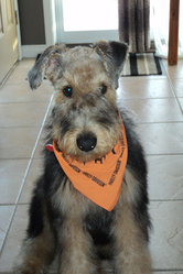 Harley, chien Airedale Terrier