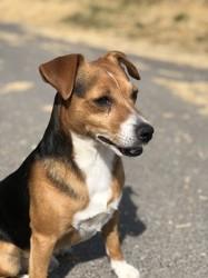 Harley, chien Beagle