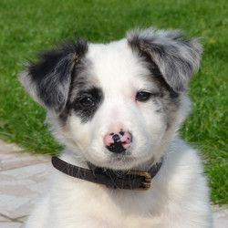 Harley, chiot Border Collie