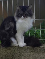 Harley Davidson Glamerous Giant, chat Maine Coon