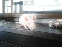 Harley Quinn, rongeur Rat