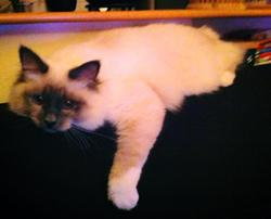 Harlow, chat Birman
