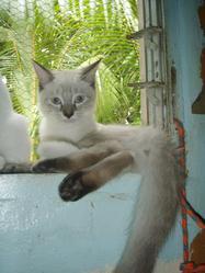 Harmon'Ys, chat Balinais