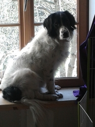 Harmonie, chien Border Collie
