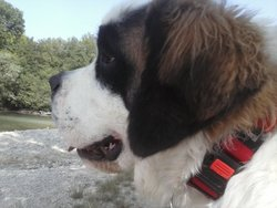 Harmonie, chien Saint-Bernard