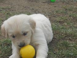 Harmony, chien Golden Retriever