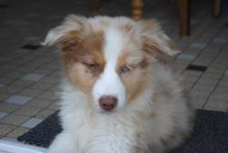 Harmony, chien Berger australien