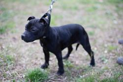 Harmony, chien Staffordshire Bull Terrier
