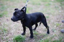 Harmony, chien Staffordshire Bull Terrier