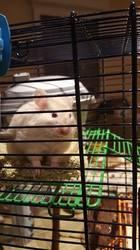 Harmonye, rongeur Hamster
