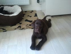 Haro, chien Labrador Retriever
