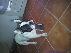 Harold, chien Bouledogue français