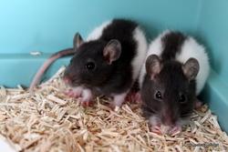 Harold Et Hector, rongeur Rat
